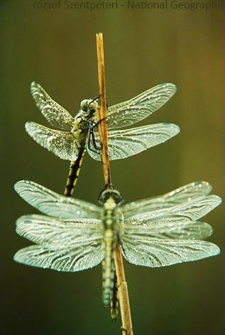 dragonfly-spettacolo-danza-del-ventre-polinesiane-irlandesi-fusion-swing-line-club-magica-milano-21-22-giugno-2014-Jozsef-szenpeteri-national-geographic-bis