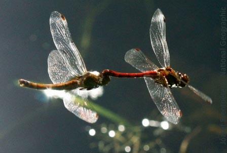 dragonfly-spettacolo-danza-del-ventre-polinesiane-irlandesi-fusion-swing-line-club-magica-milano-21-22-giugno-2014-Jozsef-szenpeteri-national-geographic