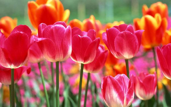tulipani-a-milano-club-magica-centro-studi-danza-milano